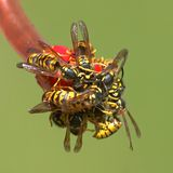 się mrowić pszczół Obraz Royalty Free