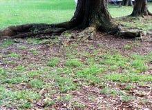 Siła drzewni korzenie obraz royalty free