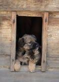 βαλεντίνος σκυλιών ημέρα&si Στοκ Εικόνες