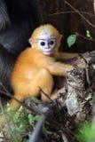 Si comporta male la scimmia Fotografia Stock