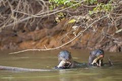 Si dirige: Due lontre giganti selvagge che mangiano e pesce di Spia-luppolizzazione in fiume Fotografie Stock