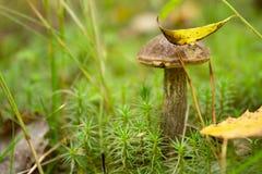 Si espande rapidamente il boletus che coltiva nella foresta le piante ed i funghi della foresta immagine stock libera da diritti