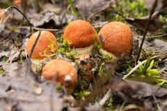 Si espande rapidamente il boletus che coltiva nella foresta le piante ed i funghi della foresta fotografie stock libere da diritti