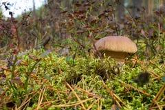 Si espande rapidamente il boletus che coltiva nella foresta le piante ed i funghi della foresta fotografia stock libera da diritti