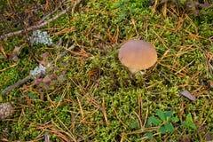 Si espande rapidamente il boletus che coltiva nella foresta le piante ed i funghi della foresta fotografie stock