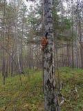 Si espande rapidamente l'agarico del miele nella foresta Immagine Stock