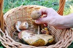 Si espande rapidamente la merce nel carrello La mano sta selezionando i funghi Mano di un uomo che tiene un fungo Fotografia Stock