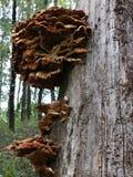 Si espande rapidamente un fuco che cresce su un albero Fotografie Stock Libere da Diritti