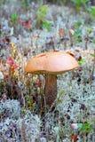 Si espande rapidamente un fungo della tremula Fotografia Stock