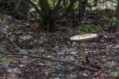 Si espande rapidamente un fungo prataiolo eterogeneo della famiglia dell'ombrello Immagine Stock Libera da Diritti