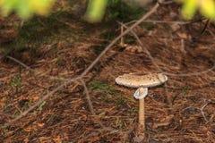 Si espande rapidamente un fungo prataiolo eterogeneo della famiglia dell'ombrello Immagine Stock