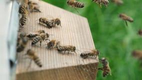 si? mrowi? pszcz?? Formacja koloni rodziny nowe pszczo?y Pszczo?y kt?re mog? lata? przy niekt?re punkt komarnic? z roju One ponow zbiory