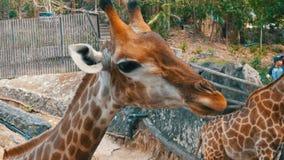 Si RACHA, TAILANDIA - 17 de enero de 2018: Alimentan los turistas desde las manos de una jirafa real en el kheow del khao del par almacen de video