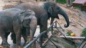 Two elephants in the pen in Khao Kheow Open Zoo. Thailand. Si RACHA, THAILAND, JANUARY 11, 2018: Two elephants in the pen in Khao Kheow Open Zoo. Thailand stock video