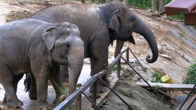 Two elephants in the pen in Khao Kheow Open Zoo. Thailand. Si RACHA, THAILAND, JANUARY 11, 2018: Two elephants in the pen in Khao Kheow Open Zoo. Thailand stock video footage