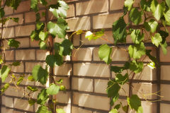 si ramifica il wilde dell'uva fotografie stock libere da diritti