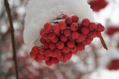 Si ramifica la cenere di montagna coperta di neve fotografia stock libera da diritti