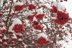 Si ramifica la cenere di montagna coperta di neve nella foresta dell'inverno immagini stock