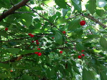 Si ramifica la ciliegia dell'estate Immagine Stock Libera da Diritti
