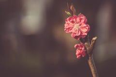 Si ramifica sakura con i fiori giapponesi rossi Immagini Stock
