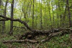 Si un arbre tombe dans les bois image libre de droits