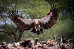 Sia avvoltoio di appoggio bianco attento fotografie stock libere da diritti