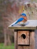 Sialia op zijn vogelhuis Stock Afbeeldingen
