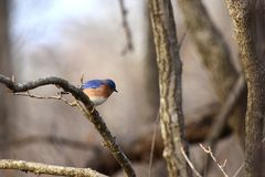 Sialia sialis. An eastern bluebird perch on a slim branch from western Missouri Royalty Free Stock Images