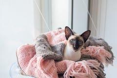 Siamés con los ojos azules en manta rosada y gris Fotografía de archivo libre de regalías