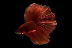 Siam bettafisk Royaltyfria Bilder