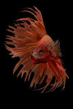 Siam bettafisk Fotografering för Bildbyråer