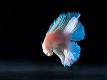 Siam boju ryba na czerni, betta ryba Zdjęcia Stock
