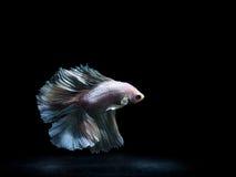 Siam boju ryba na czerni, betta ryba Fotografia Royalty Free