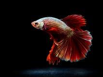Siam boju ryba na czerni, betta ryba Obraz Stock