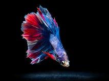 Siam boju ryba na czerni, betta ryba Zdjęcie Stock