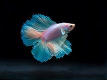 Siam boju ryba na czerni, betta ryba Zdjęcia Royalty Free