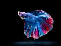 Siam boju ryba na czerni, betta ryba Zdjęcie Royalty Free
