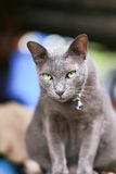 Siam cat brown color,yellow eye Royalty Free Stock Photo