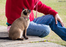 Siam cat named Moon Diamond or seal brown, also called Wichianma. Siamese cat named Moon Diamond or seal brown, also called Wichianmas on the blur background Stock Image
