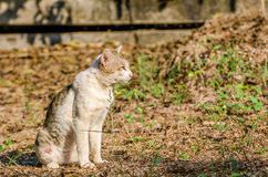 Siam cat Stock Photos
