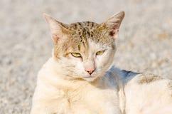 Siam cat Stock Image