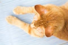 Siam Cat, Thaïlande Image libre de droits