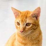Siam Cat Thailand Royaltyfri Foto