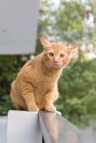 Siam Cat Thailand Arkivfoton