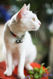 Siam cat white color,yellow eye royalty free stock photography