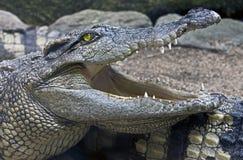 Siam crocodile 14. Siam crocodile. Latin name - Crocodylus siamensis Stock Photo