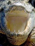 Siam crocodile 4. Close-up of siam crocodile mouth Stock Photography