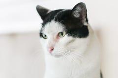 Siam domowy kot Obraz Royalty Free
