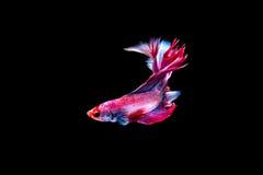 Siam Fighting Fish royalty-vrije stock afbeelding