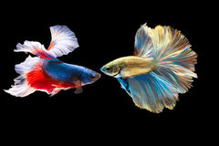 Siam Fighting Fish. On black background Royalty Free Stock Photos